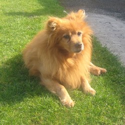 Lost dog on 06 Sep 0009 in castlebar. 15 year old pomeranian. golden. lost since 6/9/09 from the castlebar area co. mayo. Deeply missed. Arthritis in his back legs, noticable when walks.