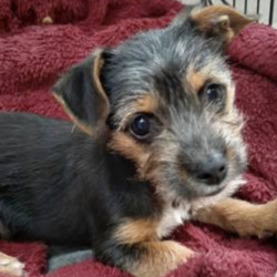 Lost dog on 06 Sep 2021 in castleknock. lost...Lost Dogs Dublin 7tSponlsSorhmeed  ·  Missing this 4 month old puppy from the Castleknock area today at around 1pm. He's a Yorkie x Jack Russell, he's very quiet and timid. Please share!