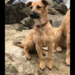 Lost dog on 07 Apr 2018 in Dublin, Cabinteely/Foxrock. Small brown terrier type with black muzzle female 8/9 months