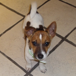 Lost dog on 07 Feb 2010 in Blackrock. Miniature Jack Russell went missing on Seapoint Avenue, Blackrock on Sunday 7th Feb. Phone 085 1661427.