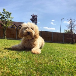 Lost dog on 07 Jun 2020 in Finea / Mullaghmeen / castlepollard /oldcastle . Missing 1 year old female cockapoo names Jazz. Also responds to Jazzy/Jasmine. Last seen on the Finea side of Mullaghmeen Forest Park at 1pm on the 7th June. Is spayed and microchipped. Wearing a pink harness and a purple collar with her name and owners number on it. Very friendly and sociable but is a house dog so may be afraid if she has been outside all night.  If found please contact Lara on 0857858959 or Patricia on 0876680355.