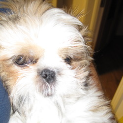 Lost dog on 07 Mar 2010 in Navan, Trim Road. Small female  honey and white Shih-tzu lost on trim road area of Navan. Much  loved and missed. Reward offered!