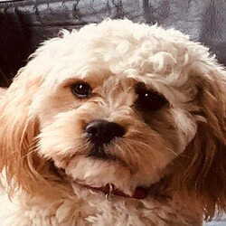 Lost dog on 07 Nov 2020 in Aughrim, Co. Wicklow. Coco Male Cavacon missing from Aughrim, Co. Wicklow since Sat 7th Nov. Microchipped and wearing a brown/red collar.