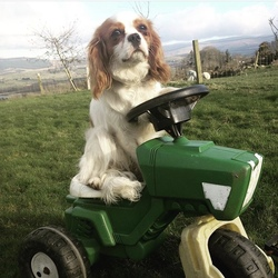 Lost dog on 07 Nov 2020 in Hollywood Wicklow. Millie is a brown and white King Charles very very loved 