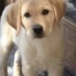 Lost dog on 07 Sep 2020 in Kinnegad. lost pup...Mullingar Dog Shelter