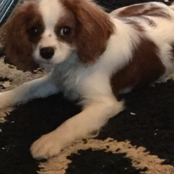 Lost dog on 08 Apr 2017 in Oranmore/Maree, Galway. King Charles - male 2 years old Very pleasant and happy dog Brown and white  Heartbroken family missing Andy