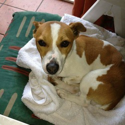Lost dog on 08 Aug 2017 in Cork -grange area. Make Jack Russell dog with a white mark on the middle of his face. Black collar and microchipped. Friendly dog.