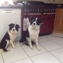 Lost dog on 13 Jul 2019 in Cordal, CO KERRY. UPDATE: dog has been seen 13th July in Cordal, near Castleisland. Collar was removed by kind lady taking care of her.    Female Border Collie w/ red collar seen 8 July outside Boherbue (R577) near Mallow. REWARD! Dog on left in photo