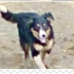 Lost dog on 08 May 2020 in Bunclody, Wexford. Jessie, went missing along with Scrappy, in the Bunclody area of Wexford. Jessie is a beautiful Female Collie, with Black, brown and white colouring.