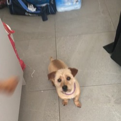Found dog on 08 May 2020 in Newry Northern Ireland. Jack Russel mixed with a Yorkshire Terrier. Golden brown colour. Answers to the name dunner. Quite small. Last seen in cloughreagh Newry