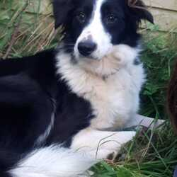 Reunited dog 08 Oct 2021 in Portlaoise, Co. Laois. ***Update - Found and reunited with her family***  Border Collie Meg went missing in Portlaoise near Vetcare veterinary clinic on Friday 8th of October around 9:30 am and was last seen around the Midlands Regional Hospital area.  She is microchipped but very shy and scared of strangers so may be hard to catch. She may come to food. If caught or sighted please call the owners at 0851614811 or 0863850550.