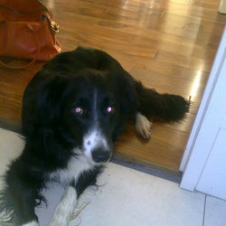 Reunited dog 09 Dec 2009 in Bray Co wicklow. Collie Black and white female - microchipped lost near Bray seafront.