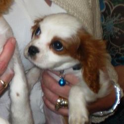 Reunited dog 09 Dec 2009 in Killina Allenwood/carbury. Kildare. Reunited! Thank you everyone who helped. CAvalier King Charles Lost in the Allenwood/carbury area on Wed 9th December. 8 months old. Male. brown & White