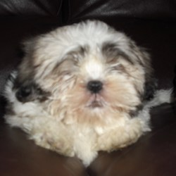 Lost dog on 09 Jan 2010 in Tomhaggard Wexford. 5 month old male Shih Tzu missing from Tomhaggard, Wexford since 9th Jan.Fairly sure he was stolen, has distinct underbite, is microchipped, honey and white and VERY badly missed by his owner.If found please call Sue/Noel on 0877805796 anytime