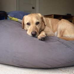 Lost dog on 09 Oct 2019 in Clontarf. Blonde Labrador with red collar. 10 years old, male, microchipped.