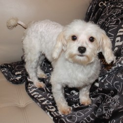 Lost dog on 10 Apr 2019 in Chipley Florida. Female Maltese-Neutered and Chipped part of Puppy Mill rescue