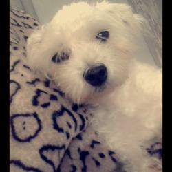 Lost dog on 10 Apr 2019 in Whitehall Dublin 9. I my dog got out today his name is ceaser he's a Maltese  in Whitehall d9 at around 9 Oclock if found can u please call me 0858137417