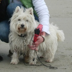 Lost dog on 10 Dec 2009 in Carrigaline Cork. Small female Westhighland terrier missing since Thurs 10th Dec in Carrigaline Cork. Very much missed. Any info please call Ruth on 087 2665852.