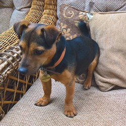 Lost dog on 10 Dec 2019 in Tyrrelstown D15. Black & Tan Jack Russell  If found please call 086-8133133