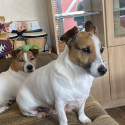 Reunited dog 10 Feb 2021 in Riverchapel wexford. FOUND.. White Jack Russell with tan head. Small black spots on back. Missing since 7 this evening from Parknacross Ardamine in Wexford, near Riverchapel. Please call if your spot him.