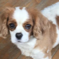 Lost dog on 10 Feb 2021 in wicklow. STILL MISSING....MISSING THREE MONTHS