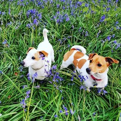 Lost dog on 10 Jan 2019 in Virginia Co. Cavan. My two Jack Russell's Toby and Freddie are lost from our home in Virginia Co.Cavan they are 6 and 7 years old - suspected to be taken so could turn up dumped anywhere - Please help, Call: 086 8435612