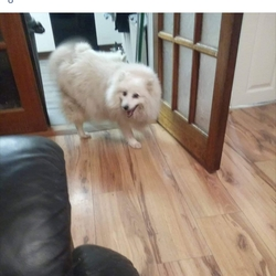 Lost dog on 10 Jul 2019 in Baltinglass  co wicklow . 10 year old female white dog missing Japanese spitz Nuertered  Microchipped
