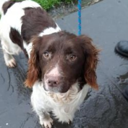 Lost dog on 10 Mar 2021 in Toomevara, Co. Tipp. Woody, Male dog taken from house on 10/3/21. Microchipped, family pet. Missing from Toomevara, Tipperary.