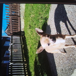 Lost dog on 11 Feb 2018 in Hoyland/birdwell barnsley. Small brown female chihuahua. 1 year old. Very timid and nervous. Lost in hoyland Barnsley, last seen in birdwell Barnsley.