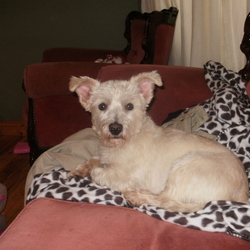 Lost dog on 11 Jan 2010 in Rhode. Small white male cross between west higland terrier and Bichon Frise. Has been groomed lately so hair hasn't fully grown back yet. Is sadly missed by our two little girls.  Missing since Monday 11th Jan. 2010. from Rhode. Please ring 087 2200206.