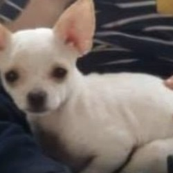 Lost dog on 11 Mar 2019 in Whitestown park blanchardstown. lost...Lors lost dogs page 3 hrs ·  MISSING : 4-5 month old female chi missing from Whitestown park blanchardstown Dublin 15 please contact 0851695222 pf. Maureen