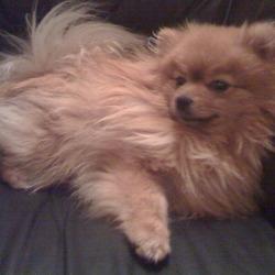 Lost dog on 11 Nov 2009 in Swords. 4 year old Pomeranian, lost in the Swords (Brackenstown) area on 8th November. lodonohoe@gmail.com 087 8545014