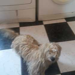 Lost dog on 11 Oct 2019 in Tallaght. Small light coloured shaggy fur. Female dog lost jobstown area