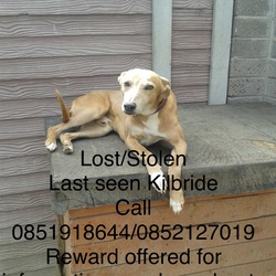 Lost dog on 11 Sep 2018 in Dublin. Stolen, Butch is our beloved pet last seen in the Kilbride area of Blessington Co Dublin ,