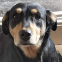 Lost dog on 12 Aug 2020 in Rossmore. LOST...Munster lost and found pet helpline