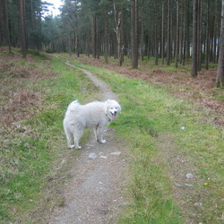 Lost dog on 12 Dec 2009 in cork/tower/blarney. 12 yr old large samoyed male. last seen in tower/blarney area of cork. very placid and much missed.reward offered contact 0871355285 with any info please