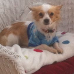 Lost dog on 12 Jun 2018 in Killester, Dublin. Bear, chihuhua missing since Sunday 10 June at 11.15am; last seen in Middle third, killester; please help find him; children heartbroken