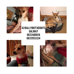 Lost dog on 12 Mar 2019 in Ballybrit Heights, Galway. hi I am Caterina the 12th of March the landlady has entered the house and the little dog has run away. Female Bailey, sterilized and microchip. it has no collar since the data is all Italian. has a red handmade wool jacket. I will give insured reward as long as I find it. We living in 42 Ballybrit Heights. Thank you