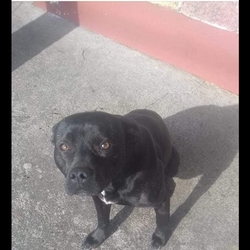 Lost dog on 12 May 2019 in Kerry. *MISSING STAFFIE