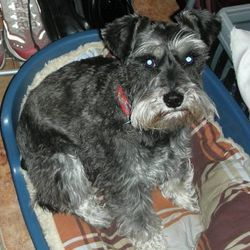 Lost dog on 12 Nov 2009 in Pallaskenry, Crecora, Askeaton, Croom. Male miniature Schnauzer stolen in a carjacking in Pallaskenry on Thursday 12th November. He is salt and pepper in colour and approx 20
