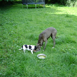 Lost dog on 12 Oct 0009 in Bray. Co. Wicklow. Lost Lurcher, Silver grey coat,with 4 white tips on feet and tail and white chest. Female, Sadly missed by her family. Mark 0872279302 or Mary 0862861258. Many thanks