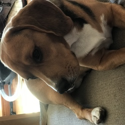 Lost dog on 12 Oct 2018 in Lucan . 2 year old Tri colour beagle! Answers to paddy! Very anxious. Went missing on Friday 12th of October from griffeen valley in Lucan! He is wearing a blue collar and is microchipped.