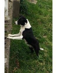 Lost dog on 13 Dec 2017 in MEATH.. LOST....REF TO IRISH POUND DOGS...missing over a month...Meath...NO chip 0868752780