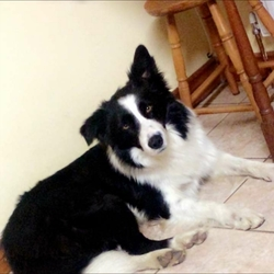 Lost dog on 13 Dec 2018 in mayo . Black and white collie dog missing since 13th of November 2018 from mayo area.hes micro chipped but has no collar.can anybody help as he s very much a family pet and is sadly missed. contact 0874663017 or 0876123361