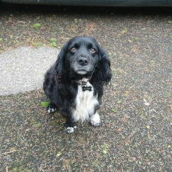 Reunited dog 13 Feb 2021 in Tipperary/Waterford . Kevin small spaniel with a white patch on his chest and his front left paw is white. He's a very happy dog and we want him home, thank you.