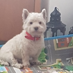 Lost dog on 13 Jun 2018 in Edmondstown Rathfarnham / Knocklyon . Baxter went missing on Wednesday June 13th at around 5pm from his home in Springvale Rathfarnham. He is a much loved and very friendly white West Highland Terrier wearing a red collar.