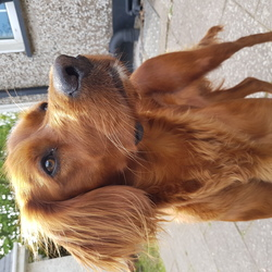 Lost dog on 13 May 2018 in Cork. Young red setter missing from Glanmire, Cork since Sunday 12th. Answers to Blue. Please contact 087 131 2997 with any info at all.