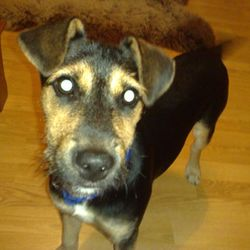 Lost dog on 13 Nov 2009 in Swords (Apllewood). Lost in the Swords (Applewood).Terrier 10 months old .If you found please contact 0857533030