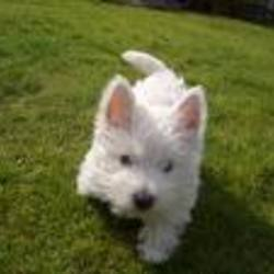 Lost dog on 13 Nov 2009 in togher ,cork city. small white westie lost who has left his family devestated if any one comes in contact with spike please call 0868551850