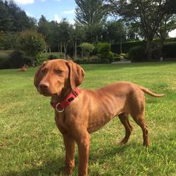 Lost dog on 13 Oct 2017 in Shankill (Dublin). 8 month old male Hungarian Vizsla missing from Shankill area (Ferndale Road) on Fri Oct 13 at 13:00.